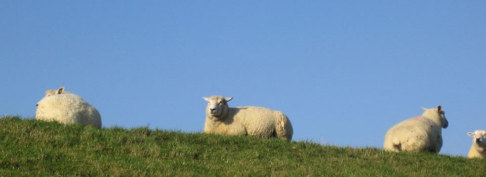 Schafe_auf_dem_Deich_960x350
